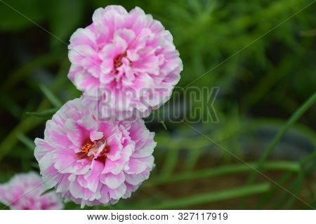Pink Portulaca Flower From Central Of Thailand