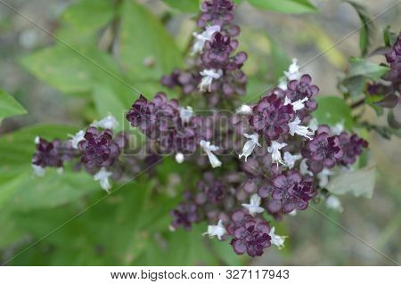 Thai Basil (ocimum Basilicum) Flower From Central Of Thailand
