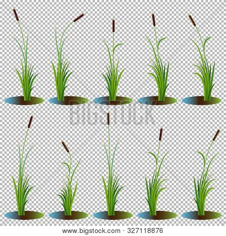Set Of 10 Variety Reeds With Leaves On Stem. Reed Bulrush Plants. Flat Vector Illustration Isolated