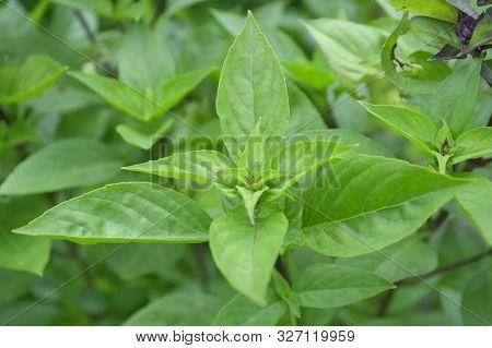 Thai Basil (ocimum Basilicum) From Central Of Thailand