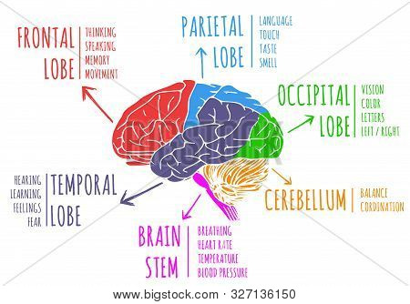 Illustration Of Human`s Brain Functions. With Specific Colored Areas On White Background