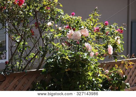 This Is An Image Of White Roses Growing In A Carmel, California Rose Garden.