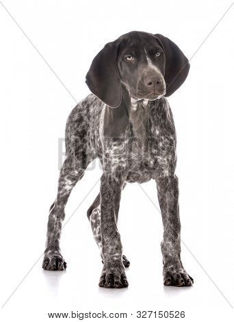 German Shorthair pointer puppy isolated on white background