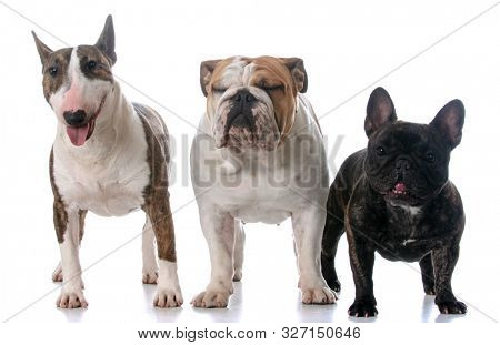 Three different bull dog breeds standing looking at viewer on white background