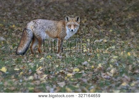 Portrait Of A Red Fox (vulpes Vulpes) In Natural Autumn Environment. Amsterdamse Waterleiding Duinen