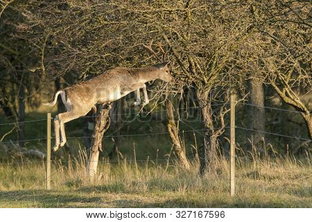 Jumping Fallow Deer (dama Dama) In Rutting Season In  The Forest Of Amsterdamse Waterleidingduinen I