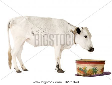 African Cows
