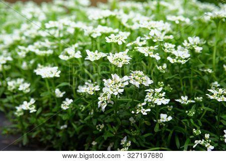 Alyssum. Alyssum Flowers. Close Up Of Lobularia Maritima Flowers. Floral Pattern. Spring And Summer