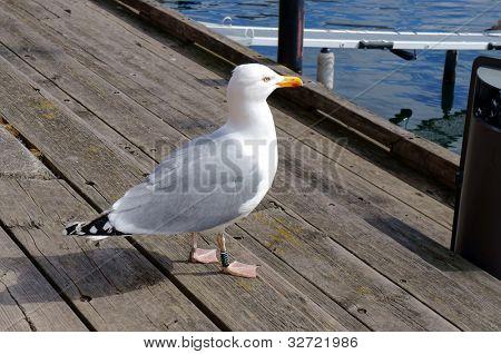 Seagull standing on the harbor bridge. Oslo, Norway