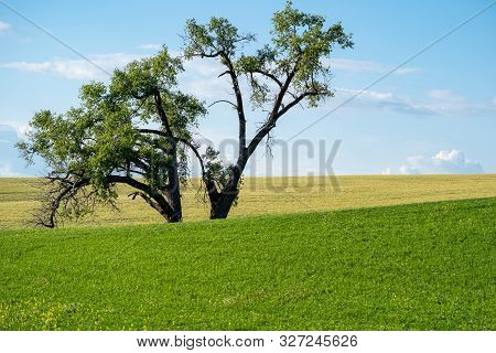 Large Lone Tree In A Farm Field In The Palouse Region Of Eastern Washington State In Summer