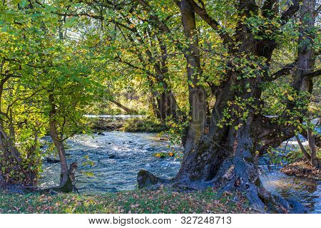 Scenic View Of An Old Beech Tree Near Olt River At Autumn In Transylvania, Romania