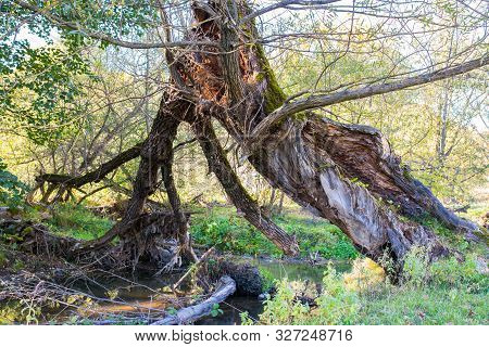 Broken Hollow Willow Tree Near Olt River At Autumn In Transylvania, Romania.
