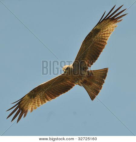 wild african kite