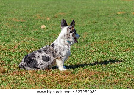A Welsh Corgi Sits In The Grass Of A Public Park In The Fall, Looking Away. The Dog Pants With Its M