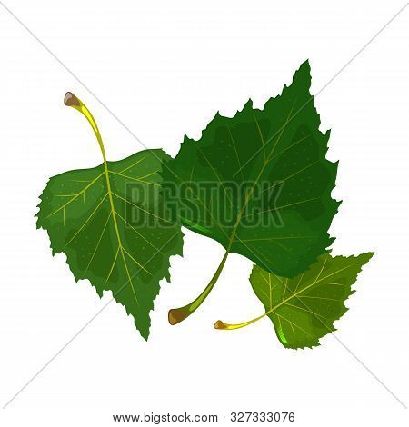 Three Green Leaves Of Birch Tree. Hello Summertime, Warmth, Sun And Foliage. Explore Proximity With