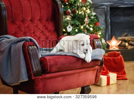 Little Adorable White Puppy, Central Asian Shepherd Dog On A Red Luxurious Couch In The New Year.