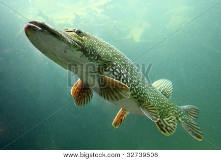 Underwater photo big Pike (Esox Lucius). Trophy fish in Hracholusky lake, Czech Republic, Europe.