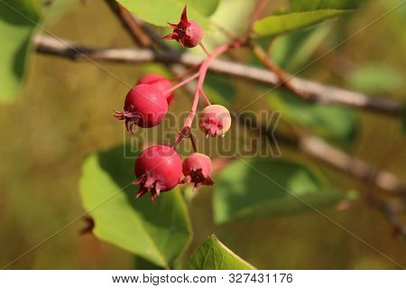 Group Of Amelanchier Berries, Ripening In The Sunlight