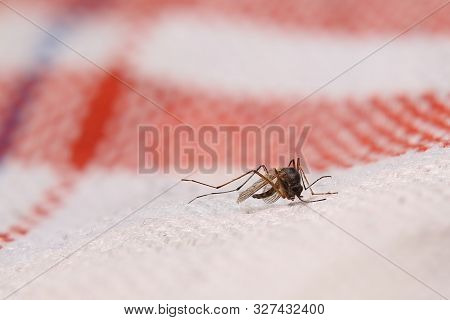 Dead Mosquito (family Culicidae) Lying On Cloth