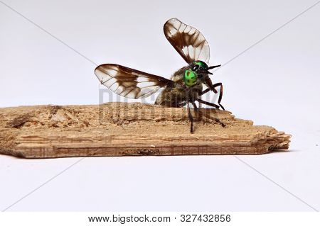 Twin-lobed Deerfly (chrysops Relictus) With Spread Wings On A Piece Of Wood