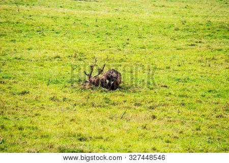 View Of A Dybowski Hirsch (cervus Nippon Hortulorum), It Is A Subspecies Of The Sika Deer (cervus Ni