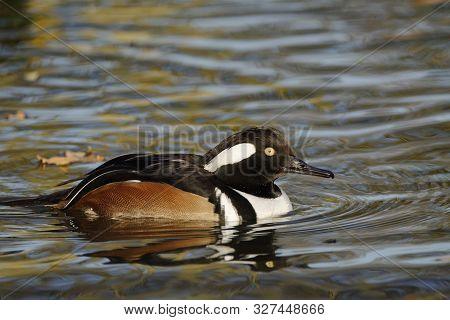 Hooded Merganser - Lophodytes Cucullatus Male On Water