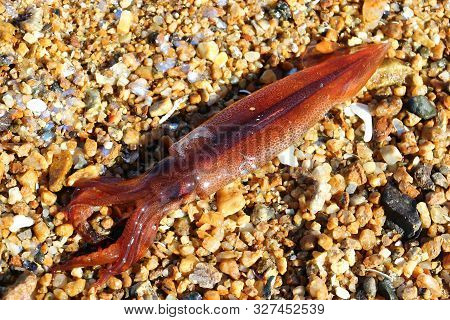 Squid Japanese Flying Squid (pacific Flying Squid Todarodes Pacificus) Alive On Sand In Sunny Day. C
