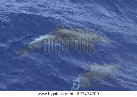 Couple Of Dolphins Swimming Under The Water Surface In The Ocean. Common Dolphin Delphinus Delphis I