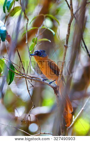 Beautiful Madagascar Bird, Paradise-flycatcher, Terpsiphone Mutata. Ankarafantsika National Park, Ma