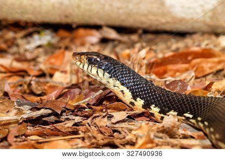 hunting Malagasy Giant Hognose snake, Leioheterodon madagascariensis in Ankarafantsika National Park, Madagascar wildlife, Africa poster