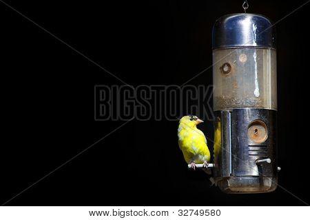 Tiny American Gold flinch bird on feeder
