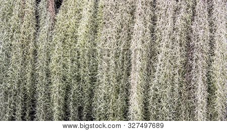 Background Of Green Spanish Moss Texture. Close Up Of Tillandsia Usneoides Pattern.