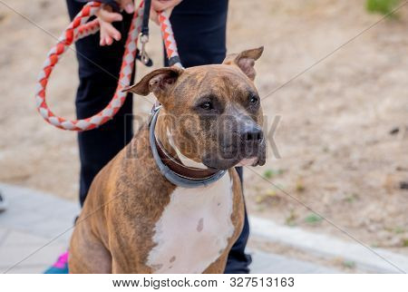 Portrait Of Cute Sweet Big Staffordshire Bull Terrier Dog Sitting At The Park Waiting For His Owner.