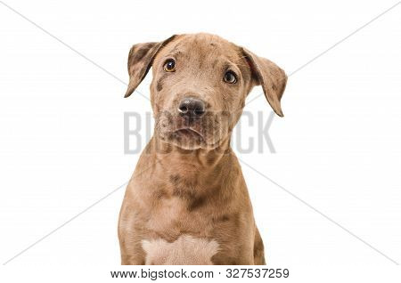 Portrait Of A Beautiful Puppy Pitbull, Isolated On White Background