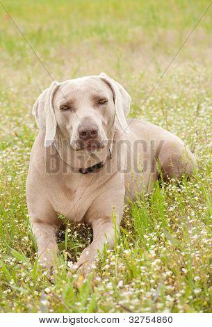 Weimaraner dog resting in spring wildflowers poster