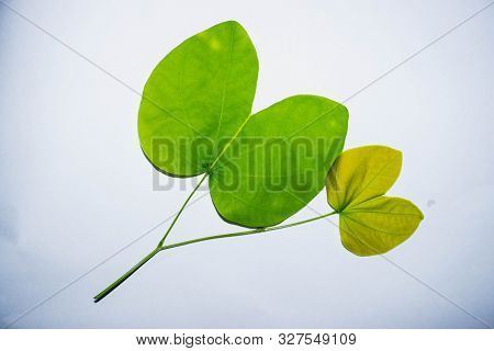 Green Leaves With 2 Protruding Branches, White Background