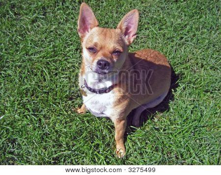 Handsome Chihuahua Posing