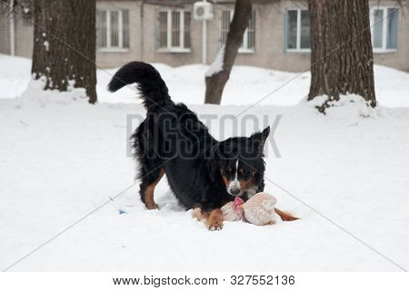Young Bernese Mountain Dog Playing With A Toy In The Snow, Berner Sennenhund In The Snow