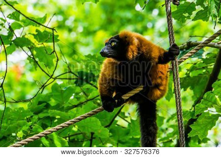Red Ruffed Lemur Sitting On A Rope In Closeup, Adorable Tropical Monkey, Critically Endangered Anima