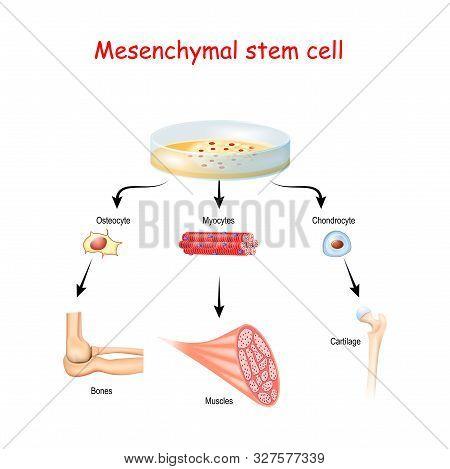Mesenchymal Stem Cells Are Multipotent Stromal Cells. Differentiate Into Osteoblast (bone), Chondroc