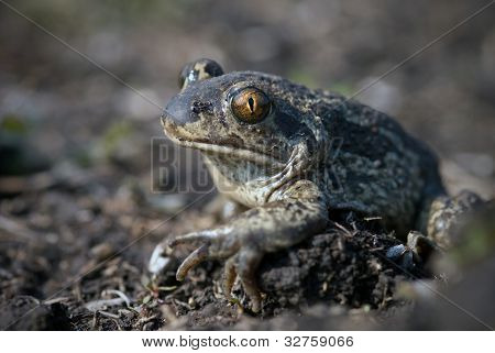 The spade footed toad sitting on the ground poster