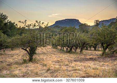 Ecological Apple Orchard At Sunset In Cevennes National Park, Southern France