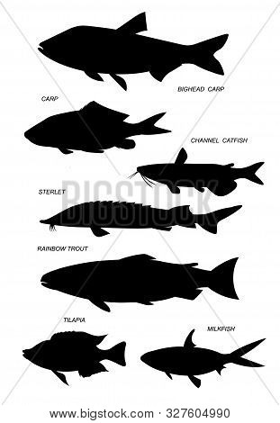 Aquacultural fish (rainbow trout, channel catfish, milkfish, sterlet, milkfish). Set of outline vector silhouette images. poster