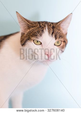 Funny Cat Surprised Sitting And Looking To Camera. White Cat With Gray Spots Isolated On Light Blue
