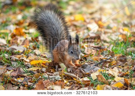 Squirrel In Autumn Hides Nuts On The Green Grass With Fallen Yellow Leaves. Squirrel Looking For Foo