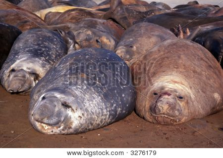Seals basking on the beach Antarctica poster