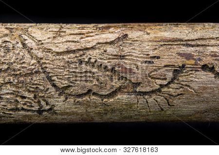 Small Tunnels Of Bark Beetles In The Dry Branch Of A Pine Tree. Destroyed Branch By Forest Pests.