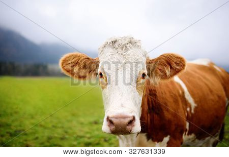 Cow In European Meadow With Rocky Mountains On The Background. Cloudy Autumn Or Summer Day In German