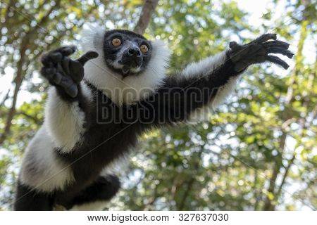 Black-and-white Ruffed Lemur (varecia Variegata).endemic Madagascar. Jumping.