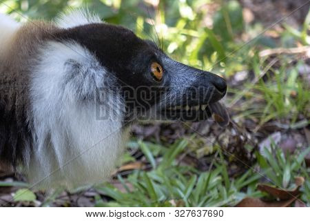 Black-and-white Ruffed Lemur (varecia Variegata).endemic Madagascar .